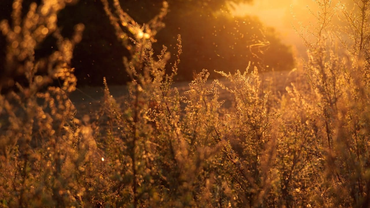 Pollen rising from plants in a meadow.